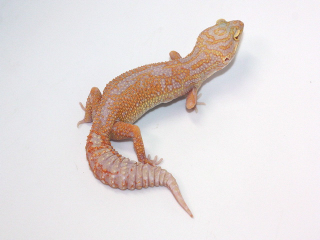ID:TN12, Reverse stripe stone wash super tangerine Tremper het Raptor