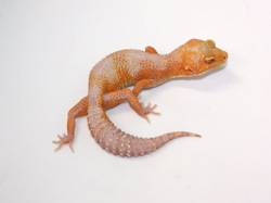 ID:TN13, Sunglow stone wash het Raptor