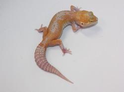ID:TN14, Bold reverse stripe stone wash Raptor