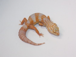 ID:TN15, High contrast super tangerine Tremper het Raptor