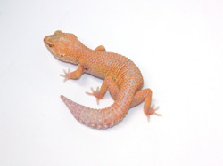 ID:TN1, Stone wash Aptor het Raptor