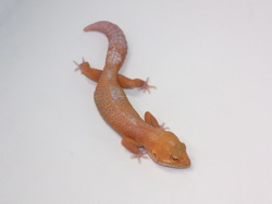 ID:TN20 , Sunglow Tremper het Raptor