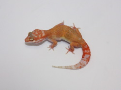 ID:TN92, Sunglow Tremper het Raptor