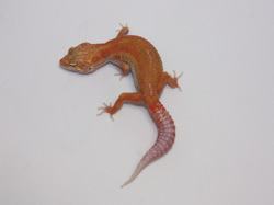ID:TN9, Carrot head high contrast super tangerine Aptor het Raptor