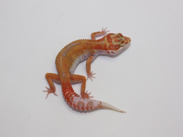 ID:TP1, Carrot head Aptor het Raptor