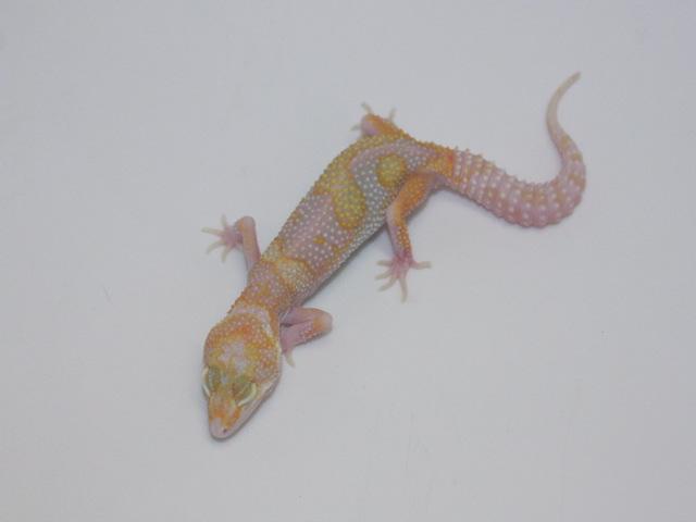 ID:TP2, Co-Dom snow Raptor