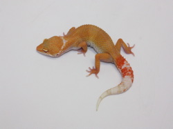 ID:TP22, Sunglow Tremper het Raptor