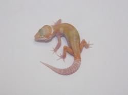 ID:TP23, Snowglow Raptor