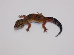 ID:TP42, Blood hypo het Raptor