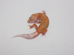 ID:TP43, Aptor het Raptor