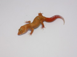 ID:TP4, Sunglow Tremper het Raptor