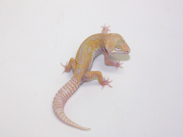 ID:TQZ32, Co-Dom snow Tremper jungle het raptor