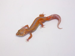 ID:TQZ33, Bold reverse stripe super tangerine Tremper het Raptor
