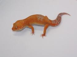 ID:TR2, Sunglow Tremper het Raptor