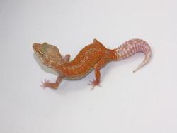 ID:TS33, Super tangerine reverse stripe Tremper het Raptor