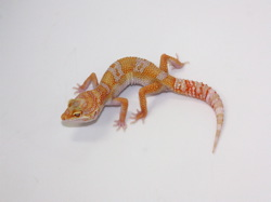 ID:TW10, Carrot head high contrast super tangerine Tremper