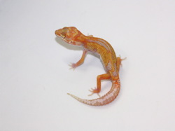 ID:TX10, Bold reverse stripe tangerine Tremper het Raptor