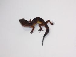 ID:TX22, Hyper melanistic poss het Raptor