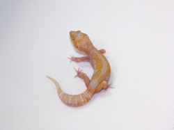 ID:TYB2, Stone wash Raptor