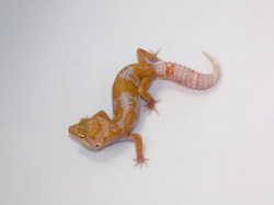 ID:TYB8, Carrot head high contrast super tangerine Tremper