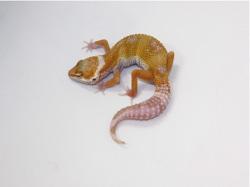 ID:TYC2, Snowglow Het raptor