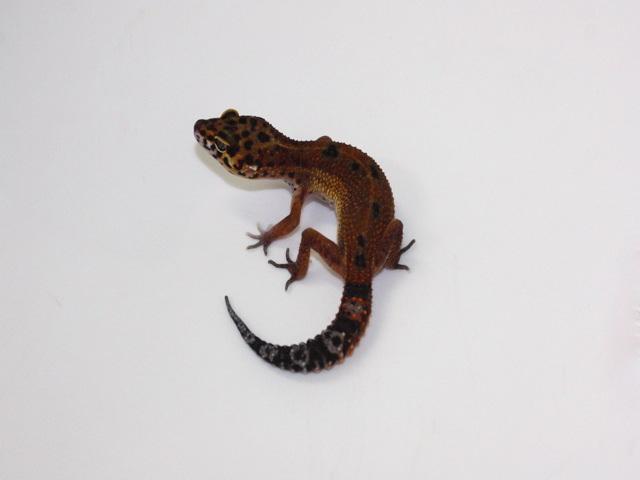 ID:TYD1 , Black blood poss het Raptor