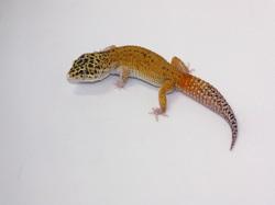 ID:TYH6, Eclipse tangerine het Raptor