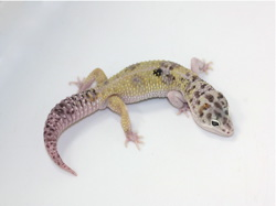 ID:W14-2, Co-Dom snow W&Y poss het Tremper
