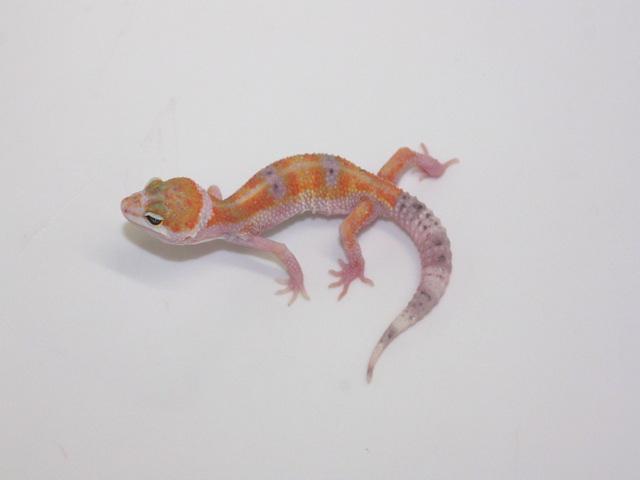 ID:W1Z2, W&Y tangerine poss het Raptor