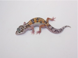 ID:WDJ32, W&Y jungle poss het Tremper