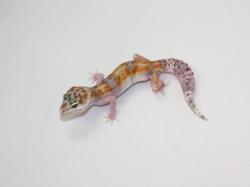 ID:WX1, W&Y poss het Raptor