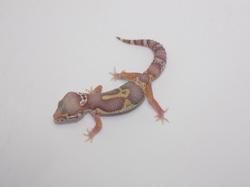 ID:XN72, Co-Dom snow hyper xanthic het Raptor