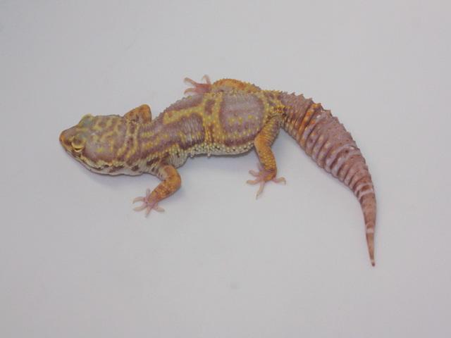 ID:XR9, Hyper Xanthic Tremper het Raptor