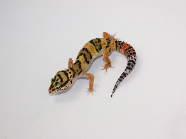 ID:XX10, Hyper Xanthic het Raptor