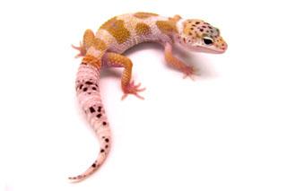 Fases de E. Macularius (Gecko Leopardo) Creamsicle001