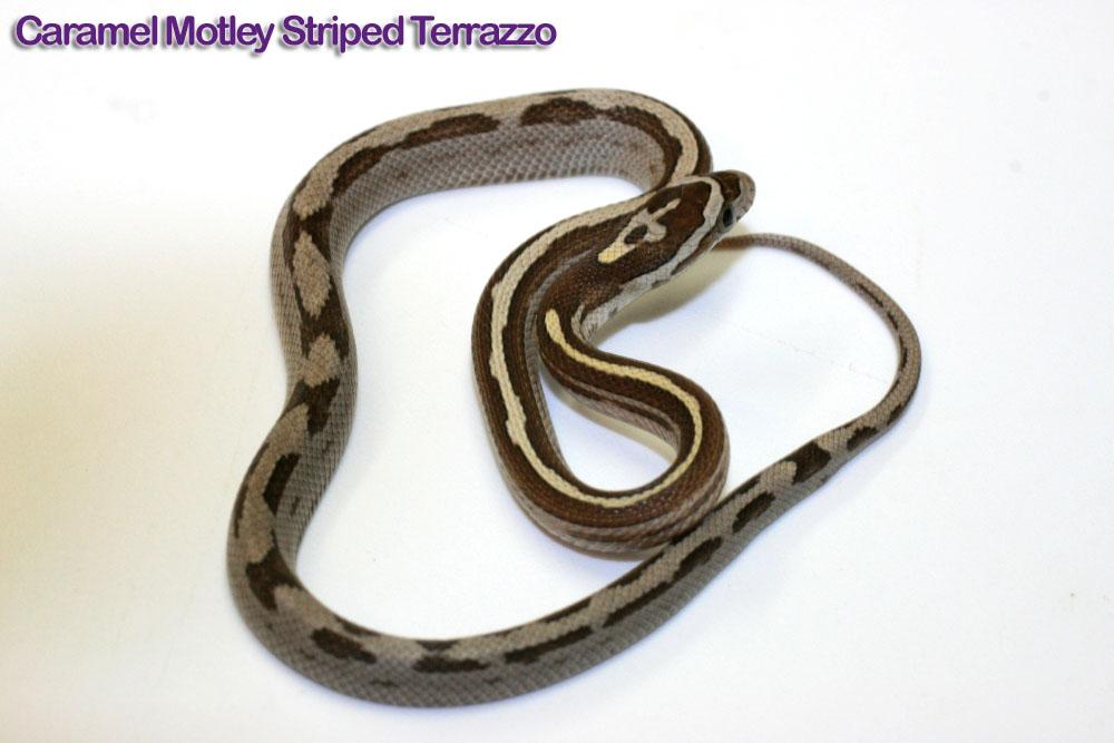 Caramel Motley Corn Snake Corn Snake Caramel Motley