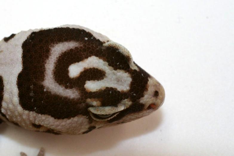 Super White Out gen fatal en Hemytheconix   Whiteout025