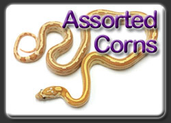 Assorted Corn Snakes
