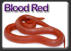 Blood Red Corn Snakes