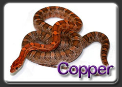Copper Corn Snakes