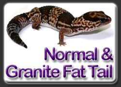 Normal and Granite African Fat Tail Gecko