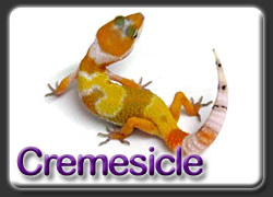 Cremesicle Leopard Gecko