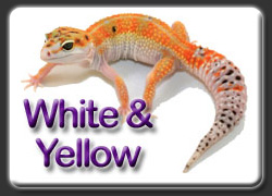 White and Yellow Leopard Gecko