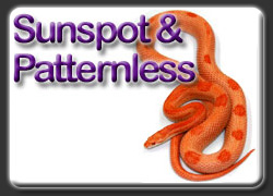 Sunsport and Patternless Corn Snakes